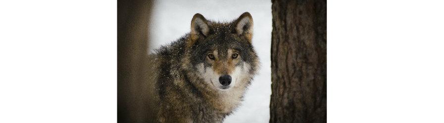 Wilk lub niedźwiedź pod domem. Co robić?