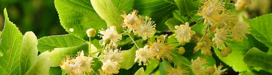 Sadzenie drzew i krzewów miododajnych, sposobem na ochronę bioróżnorodności w województwie podkarpackim